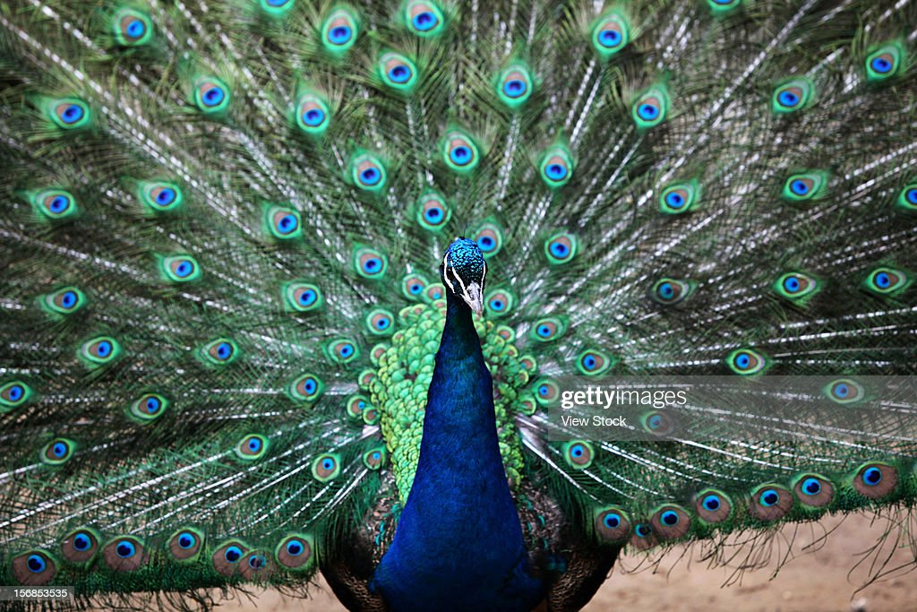 Peacock spreading tail : Stock Photo
