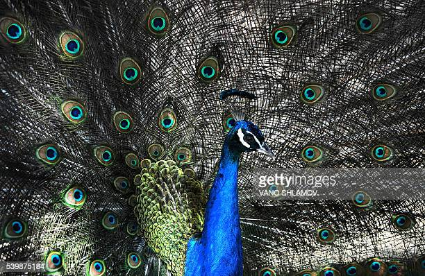 A peacock walks inside an openair cage at a zoo in Tbilisi on June 13 2016 / AFP / Vano Shlamov