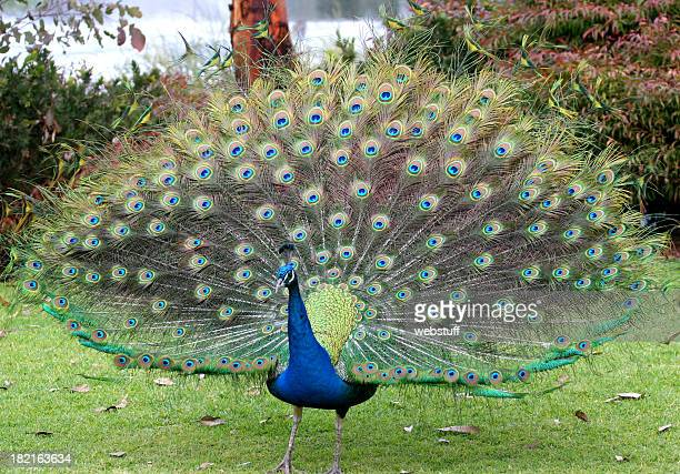 Peacock Stock Photos and Pictures | Getty Images