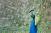 A close up of a peacock with spread tail