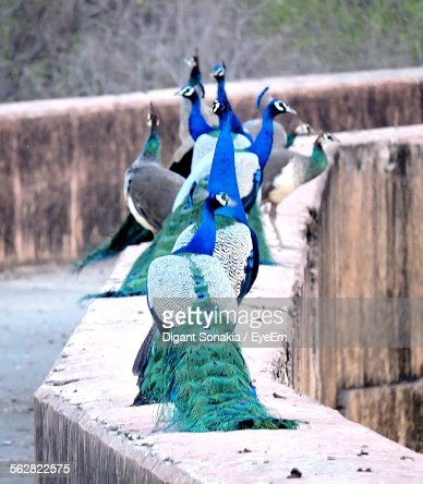 Peacocks Perching On Wall