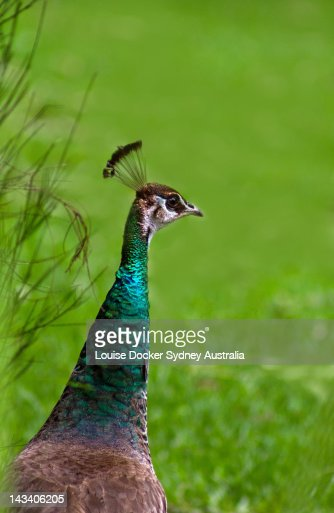 Peahen : Stock Photo