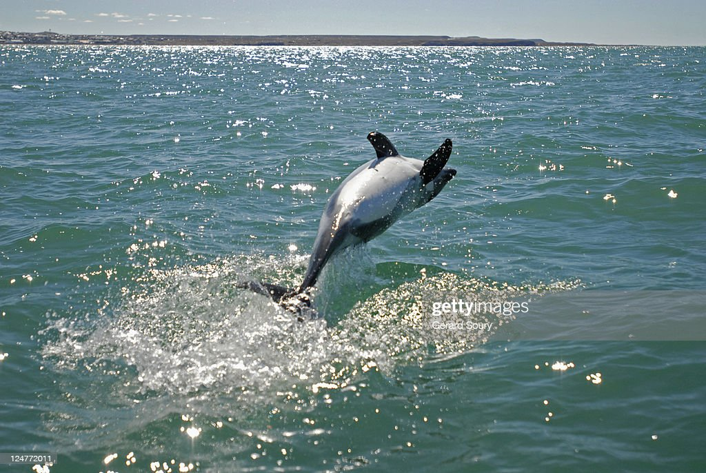 Peales Dolpin (Lagenorhynchus australis) backflipping out of water, Patagonia, Argentina, Atlantic Ocean : Stock Photo
