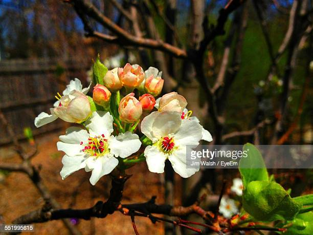 Pear Blossoms In Spring