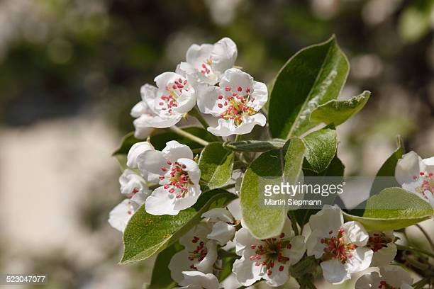 Pear blossoms -Pyrus communis-, Franconian Switzerland, Upper Franconia, Franconia, Bavaria, Germany, Europe