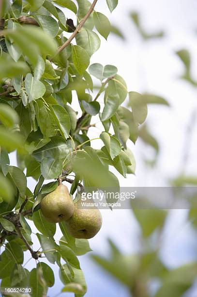 Pear fruits on branch