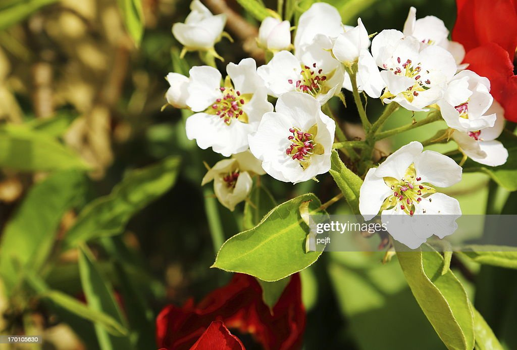 Pear tree blooming flower in the spring : Stock Photo