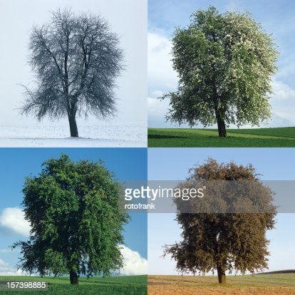 Pear tree in the Four Seasons (image size XXL)