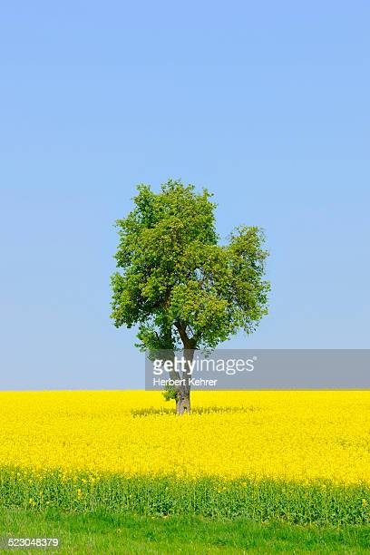 Pear tree -Pyrus- in a canola field, Lower Franconia, Bavaria, Germany, Europe