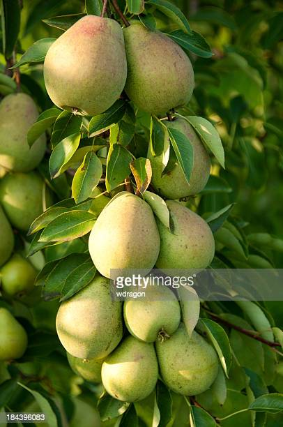 Pear tree with a lot of fruits