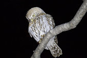 Pearl-spotted Owlet -Glaucidium perlatum- sitting on a branch, Etosha National Park, Namibia