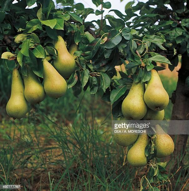 Pears Rosaceae