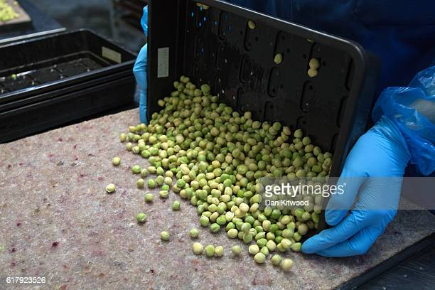 Peas are arranged on a tray and prepared to be taken to one of the Underground tunnels to grow at 'Growing Underground' in Clapham on October 24 2016...