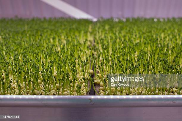 Peas grow in one of the Underground tunnels at 'Growing Underground' in Clapham on October 24 2016 in London England The former air raid shelters...