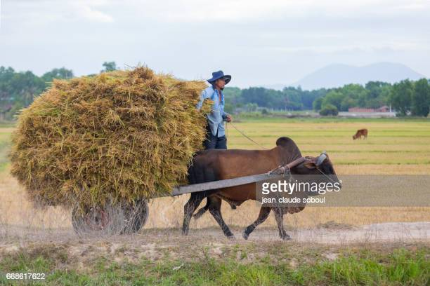 Peasant and his beef in the countryside of Binh Thuan province, in LaGi (vietnam)