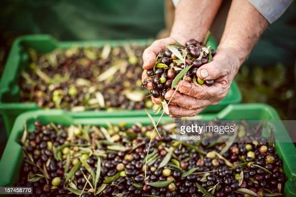 Peasant Hands during Olives Harvesting