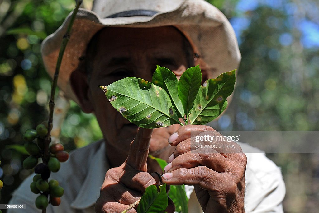 A peasant shows a coffee plant affected by La Roya (Puccinia graminis) blight in the department El Paraiso, 110 kms east of Tegucigalpa, on Januray 17, 2013. Central America, one of main producers of the best Arabica Coffee, is analyzing to take measures to combat the plague already threatening more than one third of the bean crop, one of the region's major export item. AFP PHOTO/Orlando SIERRA