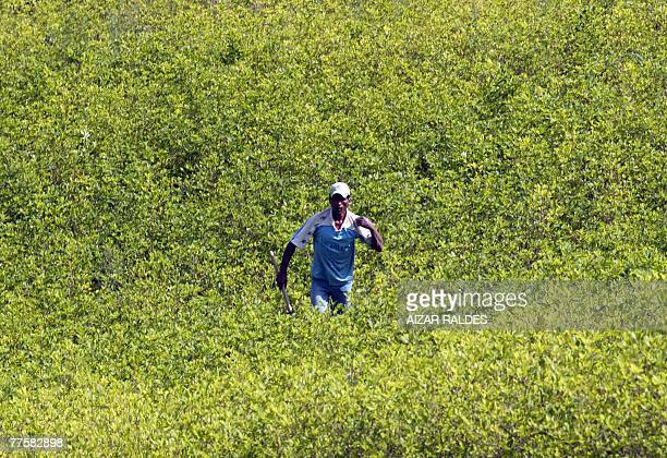 A peasant walks across a coca plantation in the village of Villa Remedios 150km from La Paz 12 October 2007 In the eastern range of the Yungas region...
