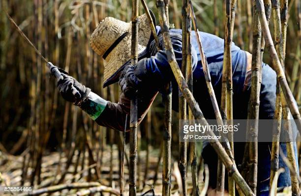 A peasant woman cuts sugar cane with a machete in the Usina Bonfim farm plantation of the COSAN group which is Brazil's biggest ethanol producer in...