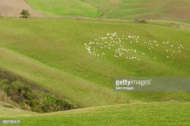 Pecorino sheep grazing on a meadow in a valley