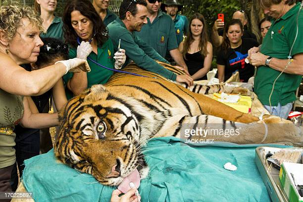 Pedang a male Sumatran tiger who is 14years old and suffering from chronic ear infections is given acupuncture treatment at the Ramat Gan Safari an...