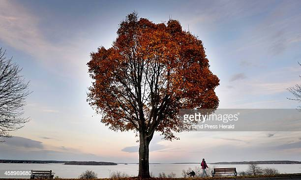 A pedestrian and her dog walk along Eastern Promenade in Portland under a tree that is hanging onto it's leaves late into fall Thursday November 13...