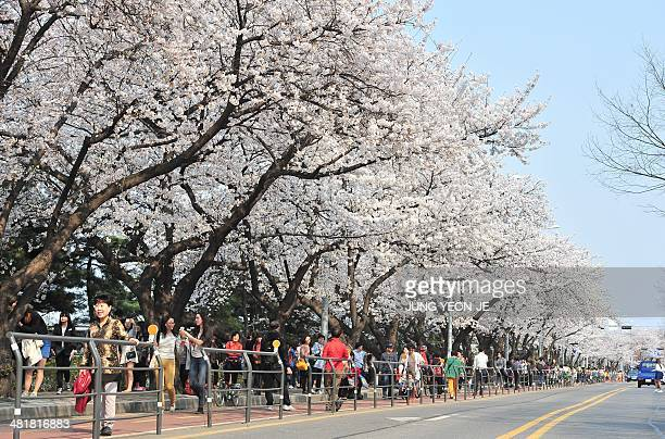 Pedestrians walk under cherry blossom trees in Seoul on April 1 2014 As unseasonably warm weather continues Seoul's first cherry blossoms have...
