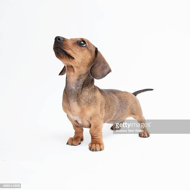 Pedigree Dachshund puppy