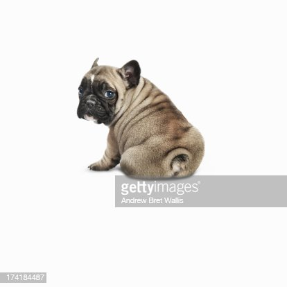 Pedigree French bulldog against a white background