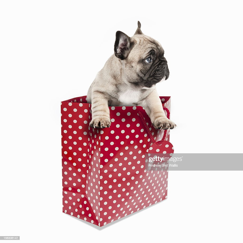 Pedigree French Bulldog puppy in a gift bag : Stock Photo
