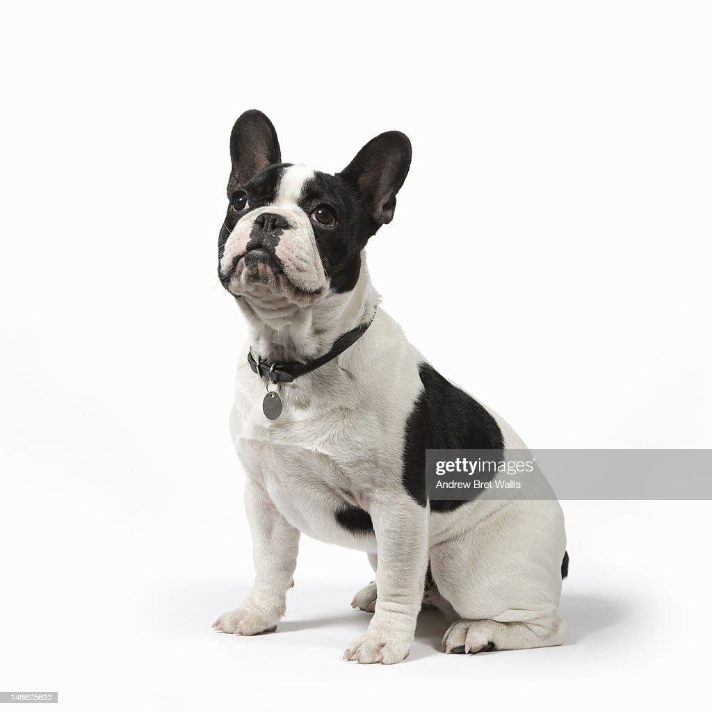 Pedigree French Bulldog sits to attention : Stock Photo