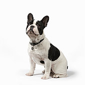 Pedigree French Bulldog sits to attention