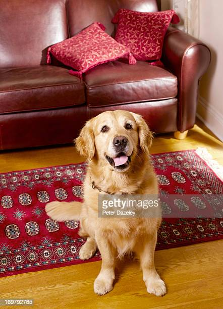 Pedigree golden retriever