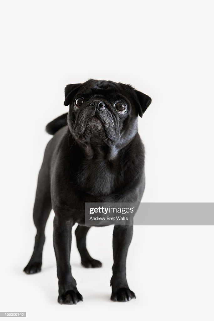 Pedigree Pug looking up against white : Stock Photo