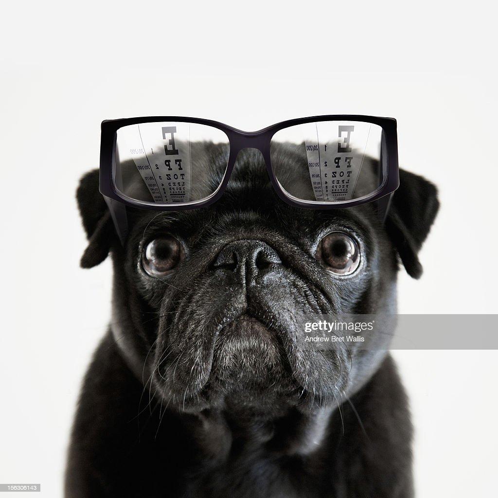 Pedigree Pug tries to read an optician's eye chart