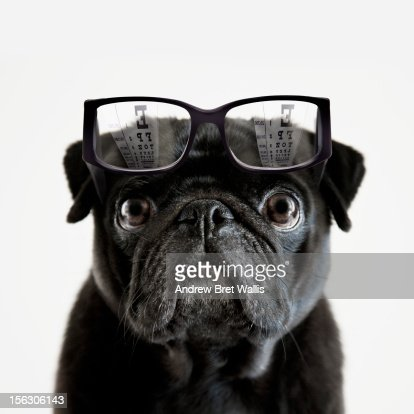 Pedigree Pug tries to read an optician's eye chart : Stock Photo