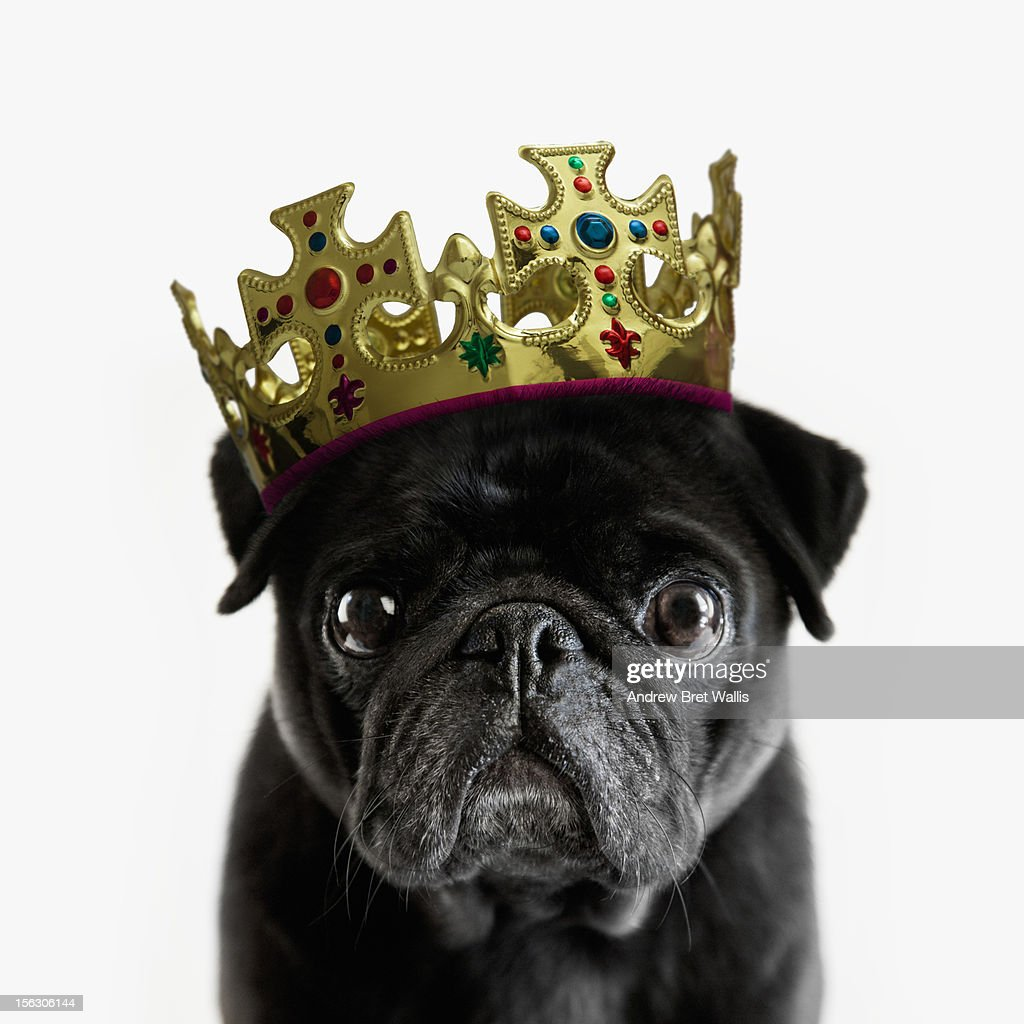 Pedigree Pug wearing a crown against white : Stock Photo