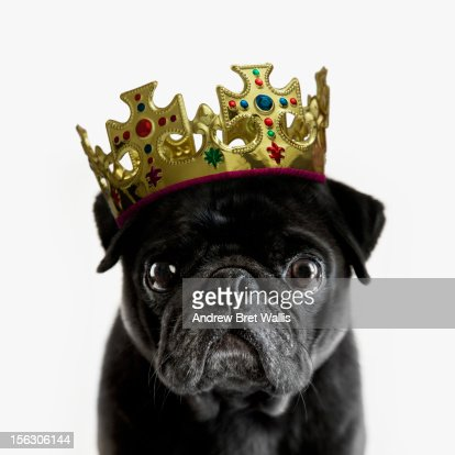 Pedigree Pug wearing a crown against white
