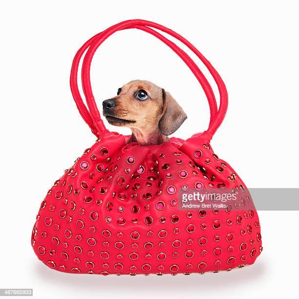 Pedigree puppy in a handbag