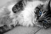 Portrait Of A Pedigree Ragdoll Cat Lying Down While Looking At The Camera