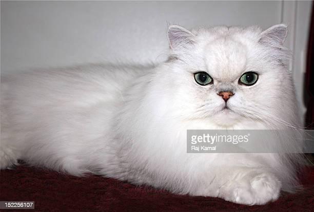 Pedigree Silver Persian Chinchilla Cat
