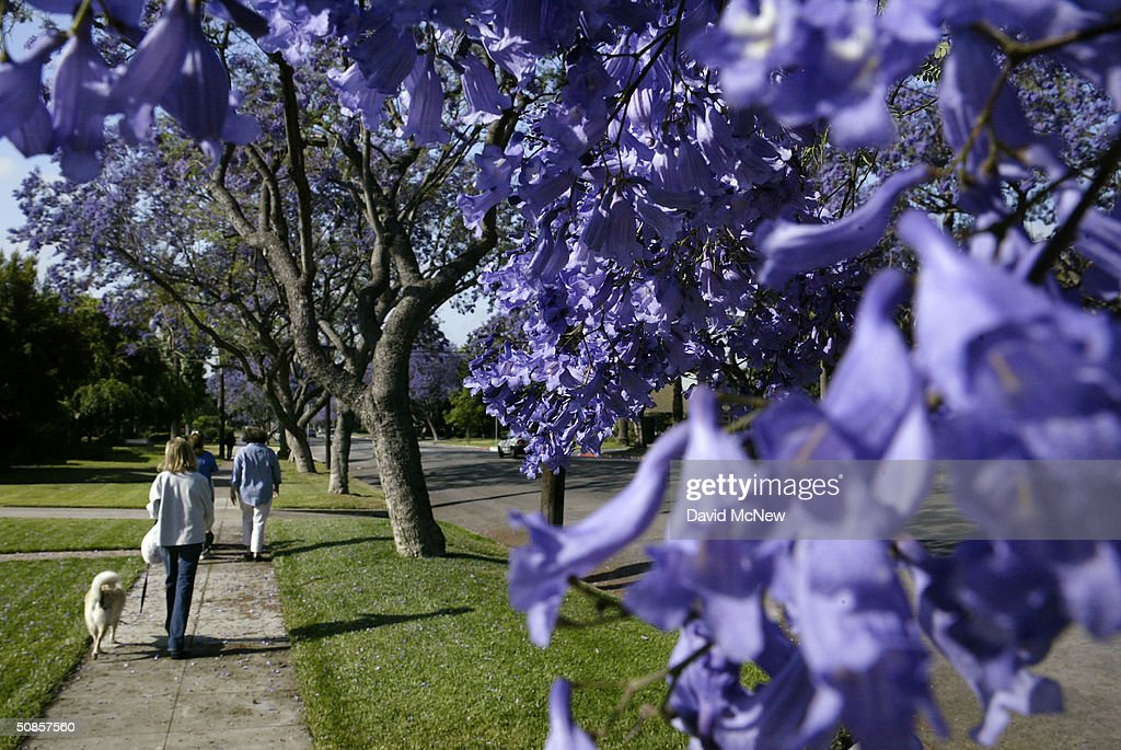 Pedistrians pass by purple blossoms as southern California's Jacaranda trees go into full bloom May 19 2004 in South Pasadena California The...