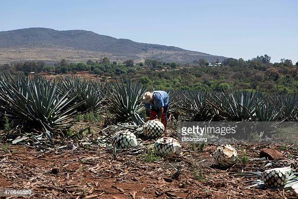 Pedro Chavez a farmer for Tequila Don Julio SA de CV who harvests agave known as a jimador in Mexico cuts blue Weber agave in the fields outside...