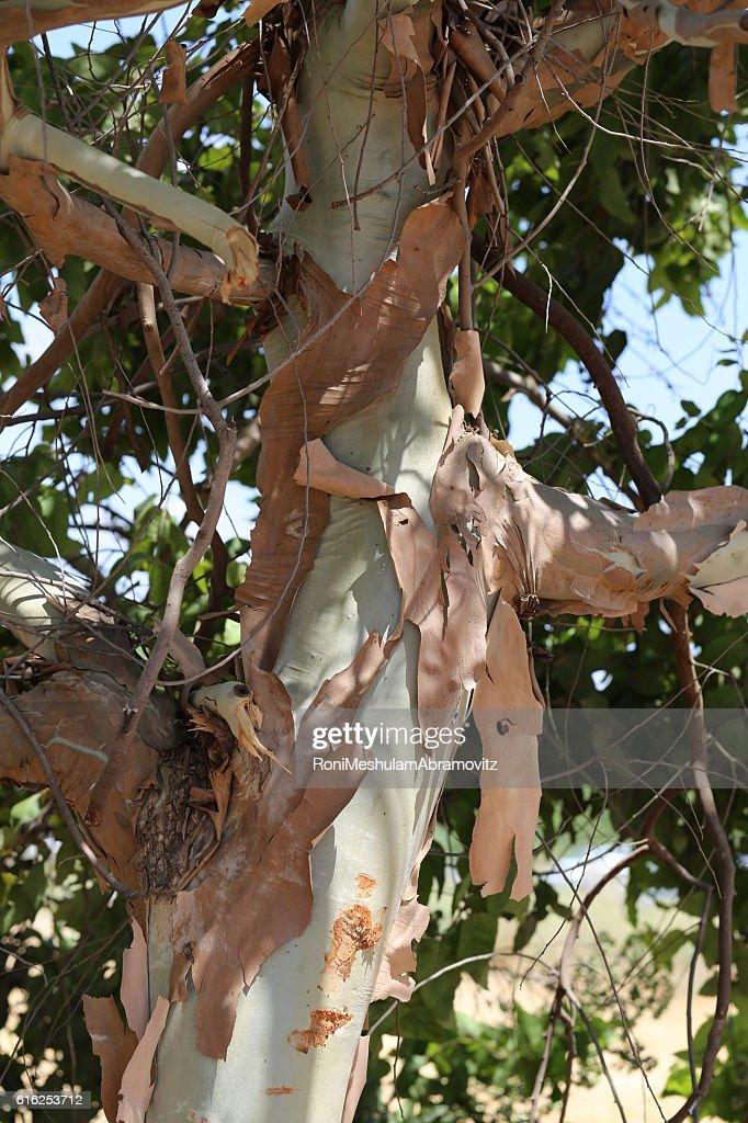 Peeled Tree Trunk. : Foto de stock