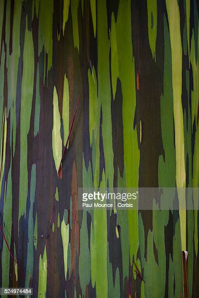 Peeling bark on the trunk of a gumbo limbo tree