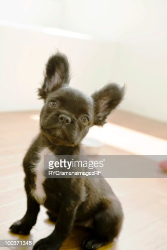 Peki-French : Stock Photo