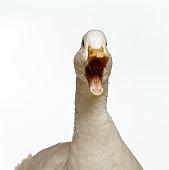 Pekin duck, head-shot