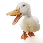 Pekin duck with beak open, against white background, close-up