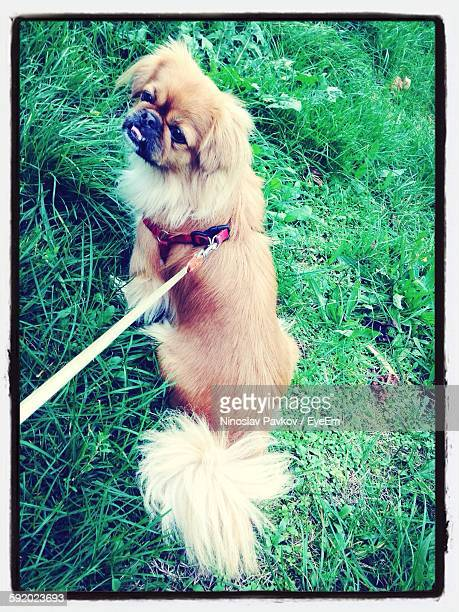 Pekinese Dog On Leash
