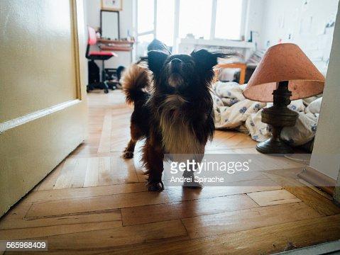Pekingese dog barking